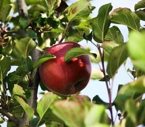 berner rosen apple