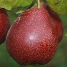 Beurre Anjou pear