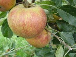 cox's orange pippin apple tree
