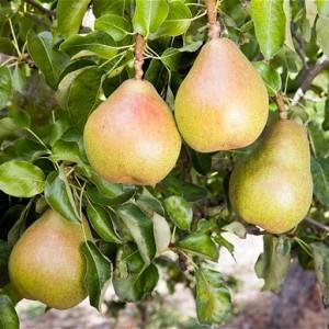 Douyenne Du Comice pear