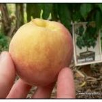 Dwarf peach Queensland