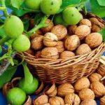English seedling walnut