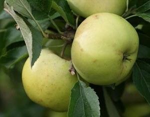 freyburg apple