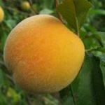 Golden Queen peach