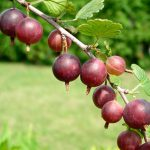 Gooseberry plants