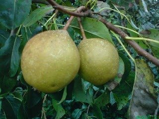 006 Perry Pear Trees