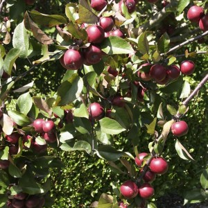 huonville crab apple