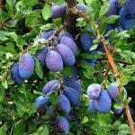 Moya prune