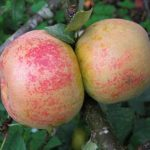 orleans reinette apple