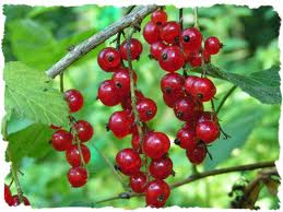 Red Currant plants