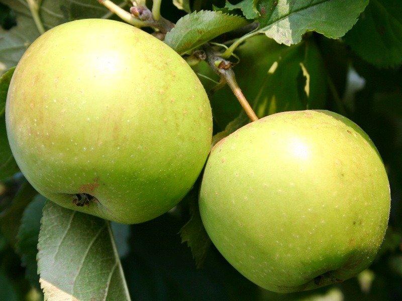 reine de hatives apple tree
