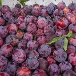 dwarf plum santa rosa