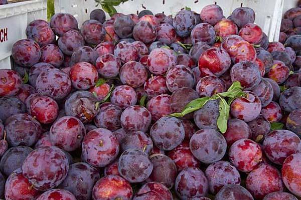 Santa Rosa Plum Yalca Fruit Trees