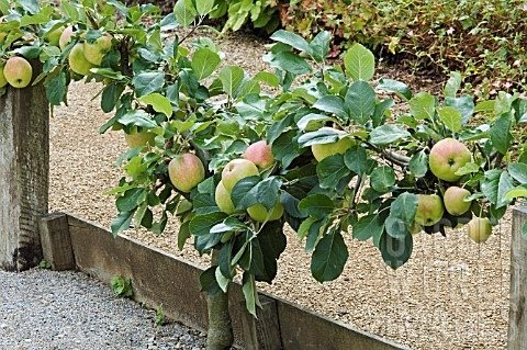 Stepover Apples