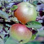 Stewarts Seedling apple