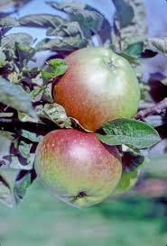 Stewarts Seedling apple