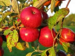 Stoke Red cider apple