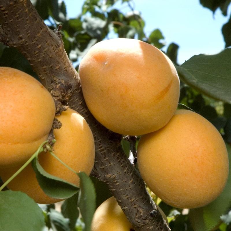 dwarf tilton apricot