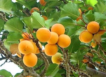 trevatt apricot tree