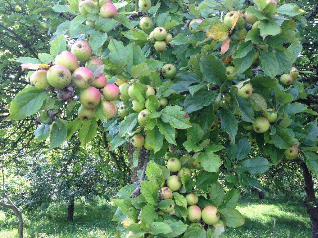 verite apple