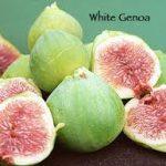 White Genoa fig