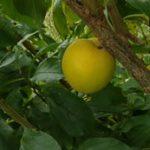 Wickson plum