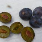Zwetschge plum