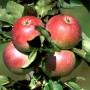 ballerina-apple