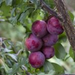 Plum Trees - Japanese & Blood Plums