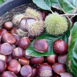 chestnut Emerald Gem