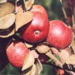 dabinett apple