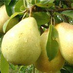 ducchess D'Angloueme pear