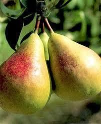 flemish beauty pear