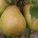 glou morceau pear