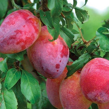 luisa plum