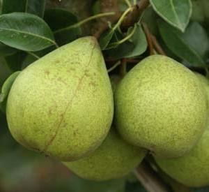 moorcroft perry pear