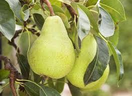 packham pear tree