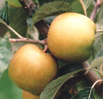 pine golden pippin apple