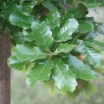 portugese oak tree
