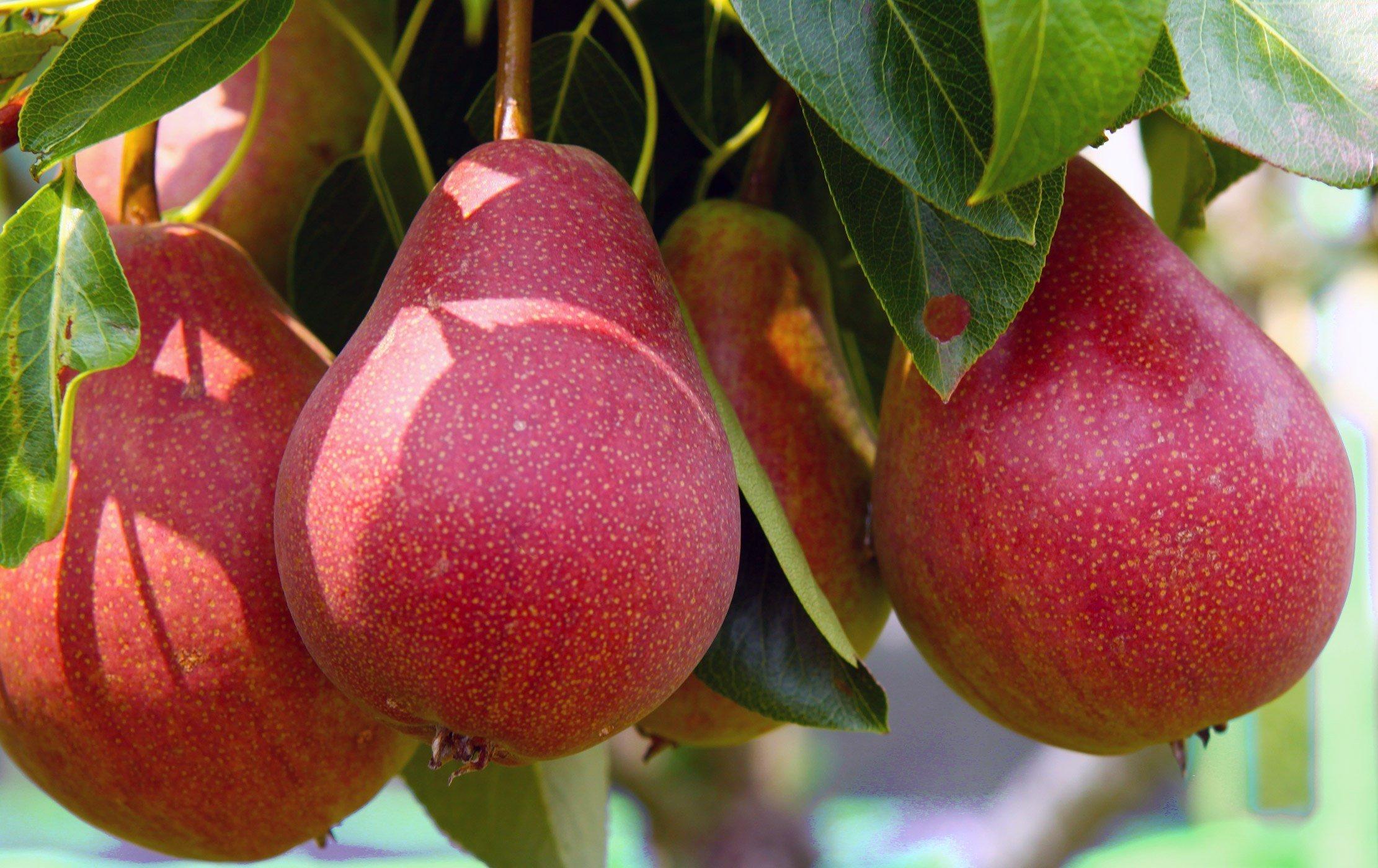 red sensation pear
