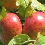 breakwells seedling apple