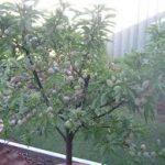 self pollinating almond