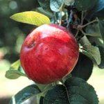 somerset redstreak apple