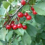 Sour Cherry Trees