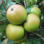 sturmer pippin apple tree
