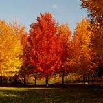 Sugar Maple Trees