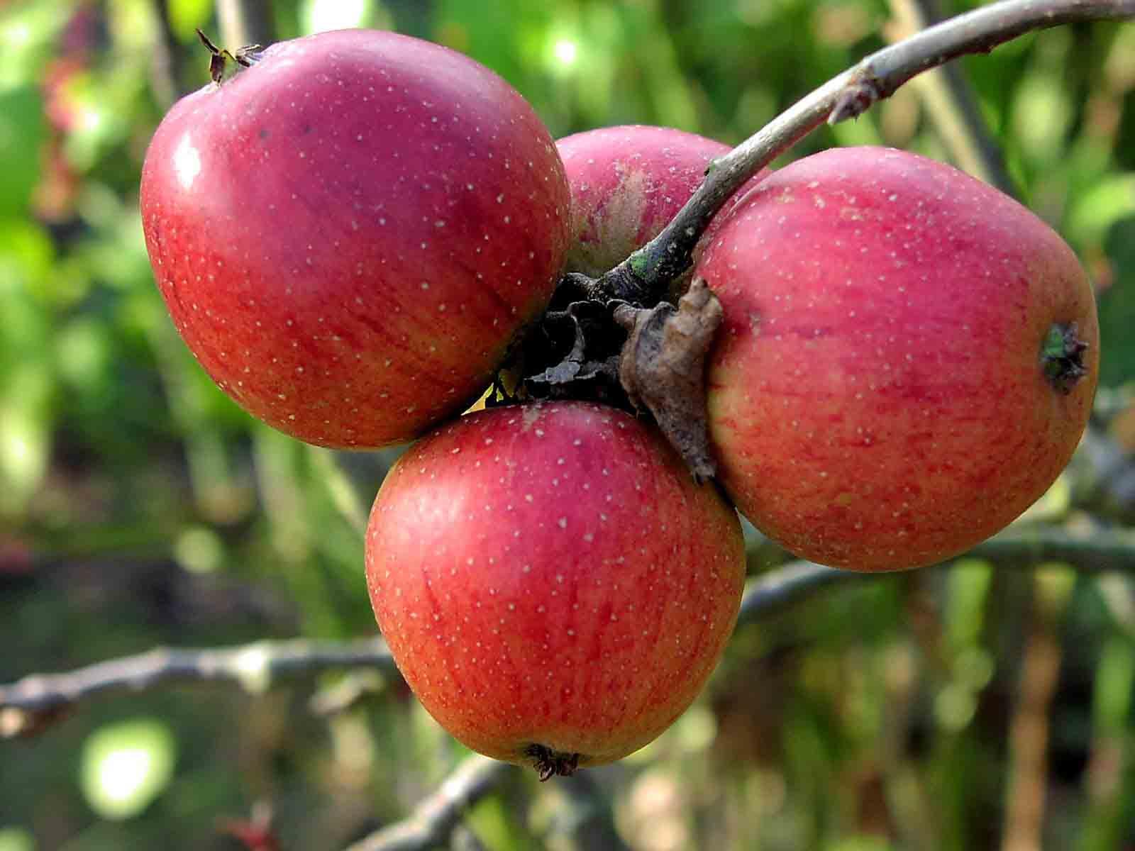summer strawberry apple