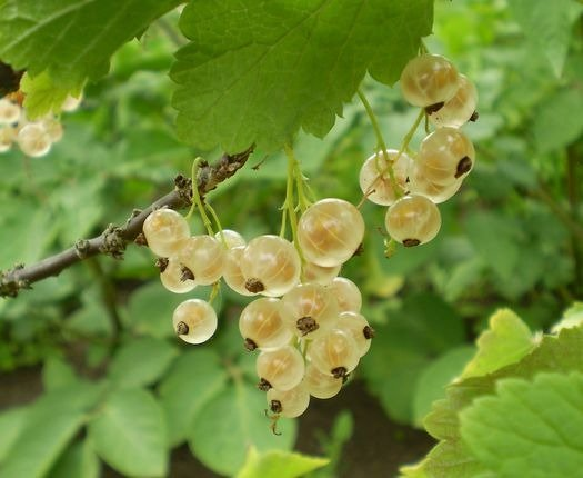 038 White Currants