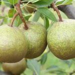 winter nelis pear tree