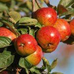 yarlington-mill-cider-apple